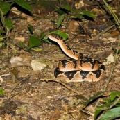 Crotalus durissus terrificus. Serpent à sonnette. Genre : crotalus, crotale. Environ 1m40 de long. Cascabelle, ou crotale des tropiques. De nuit sur un sentier, enroulé sur le sol, la tête dressée.  Bolivie Parc national Amboro.
