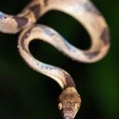 Leptodeira annulata annulata. Serpent vu de face.  Parc national Yasuni en Equateur.