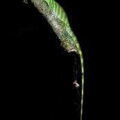 Anolis transversalis. Lézard aux yeux bleux.   Parc national Yasuni en Equateur.