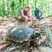 Chelonoidis denticulata - Syn : Geochelone denticulata. Tortue terrestre en forêt en Guyane (Saül). Enfant et sa maman qui regadent en arrière plan.