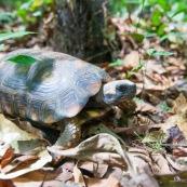 Chelonoidis denticulata - Syn : Geochelone denticulata. Tortue terrestre en forêt en Guyane (Saül).