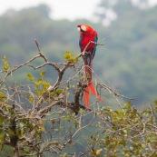 Ara macao a Saul en Guyane. Perroquet Rouge. Oiseau.