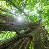 Arbre remarquable a Saul en Guyane. Foret tropicale amazonienne. Parc amazonien de Guyane.