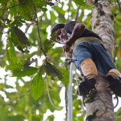 Botaniste en train de grimper dans un arbre pour prélever des feuilles et des fleurs, à l'aide de chaussures revêtus de barres métalliques (comme un piège à loup).