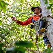 """Botaniste dans la jungle sur le terrain en train de prélever des échantillons de feuilles, fruits et fleurs d'arbre. En train de grimper dans un arbre, avec une perche pour couper les branches. Possède un """"piège à loup"""" aux pieds pour grimper dans les arbres."""