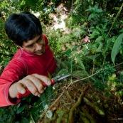 Botaniste dans la jungle sur le terrain en train de prélever des échantillons de feuilles, fruits et fleurs d'arbre. Vue de dessus, en train de couper une branche. A une dizaine de mètres de haut, dans l'arbre, après avoir grimpé dans l'arbre. Foret tropical eamazonienne Equateur Yasuni.