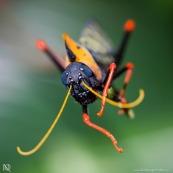 Criquet Arlequin - Parc Amazonien de Guyane