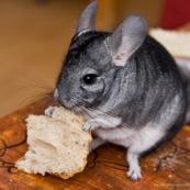 Chinchilla en train de manger du pain.
