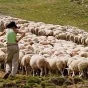 Bergère avec son troupeau et son chien menant le troupeau. Femme, avec sa canne, menant les brebis dans les alpages.