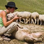Bergère dans les Alpes - Soigne un mouton