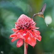 Nicolaia (de Asia) et colibri