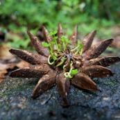 Graine tropicale - Clusia grandiflora - Guyane - Photographe